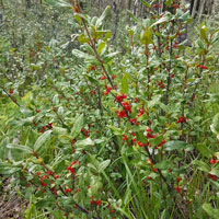 The russet buffaloberry shrub is one of the fruit producers in the Middle of Know-Where