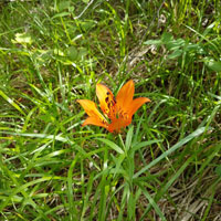 The wood lilies are a cheerful addition to the meadows and slopes in the Middle of Know-Where