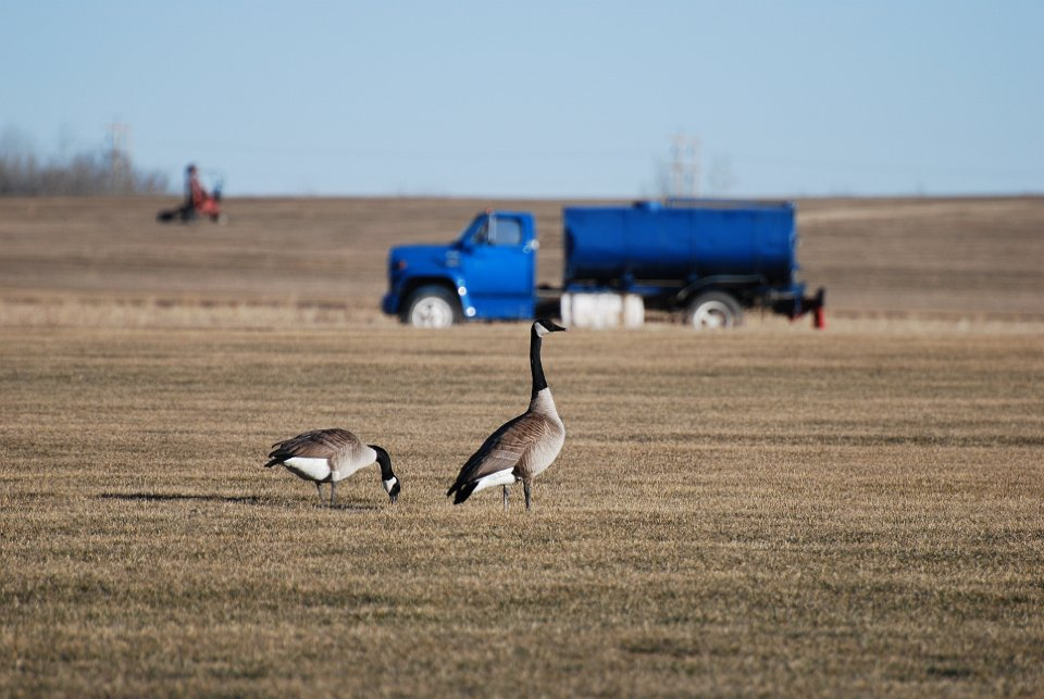 Canadian Geese preparing to fly south in the fall.
