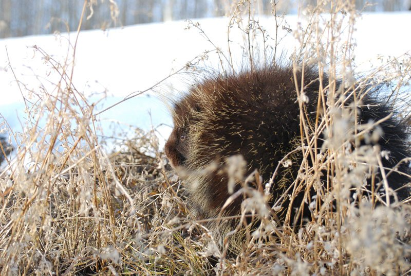 A porcupine hiding in the spring grass.