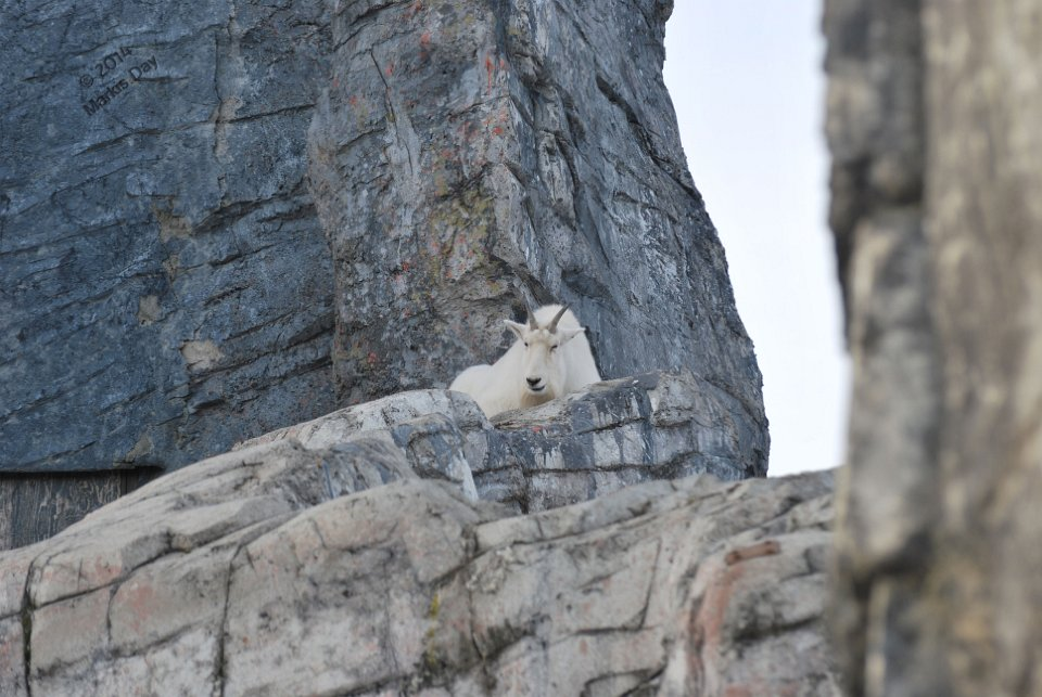 A Rocky Mountain Goat