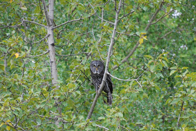 A Boreal Owl in the bush.
